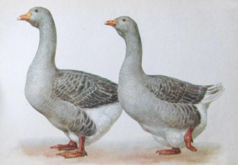 Коллекция пород гусей