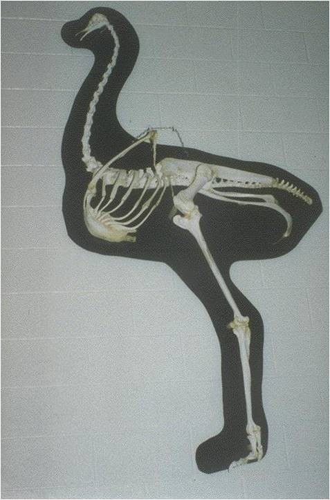 Биологические особенности страусов их содержание и выращивание