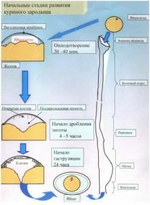 Начальные стадии развития куриного зародыша.