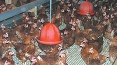 Комбинированные условия содержания птицы в помещении снижает риск расклева