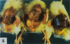 Пупки воспалены и желточные мешки вздуты у 3-дневный цыплят из-за инфекции E.coli