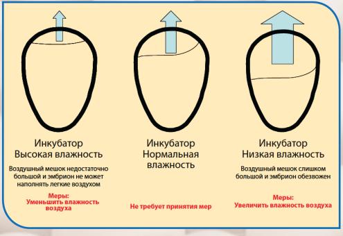 Температура при инкубации куриных яиц в домашних условиях