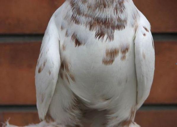 лечение сальмонеллеза суставов у голубей