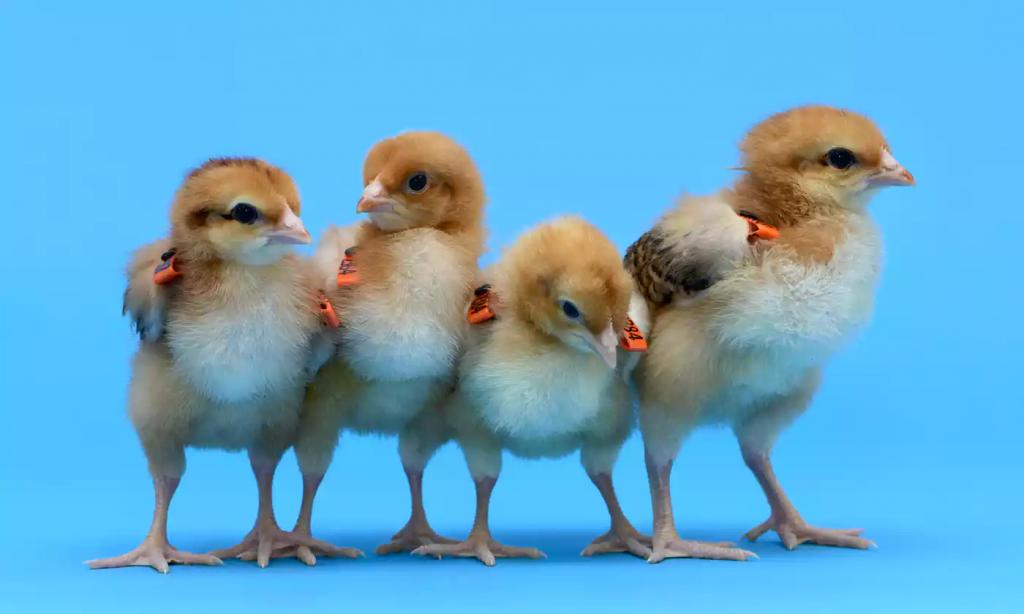 gm-chicks|ptitcevod.ru - все для птицеводов|воспроизводство, инкубация, репродукция, технология содержания и лечение болезней птицы