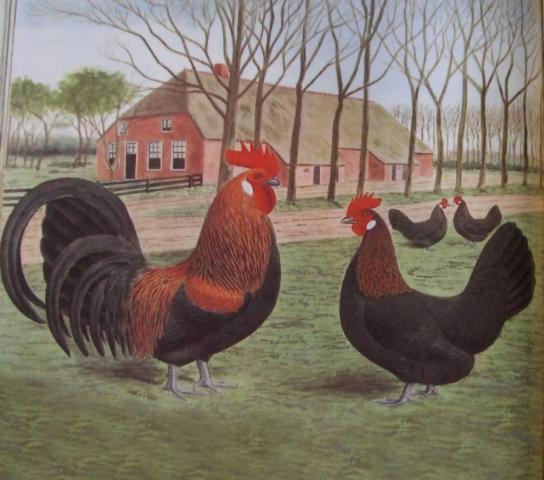 КРИПЕРЫ черногрудые (коротконожки, куры— ползуны)