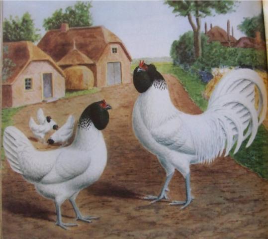 ДАТСКИЕ СОВИНО-БОРОДАТЫЕ (белые чернобородые)