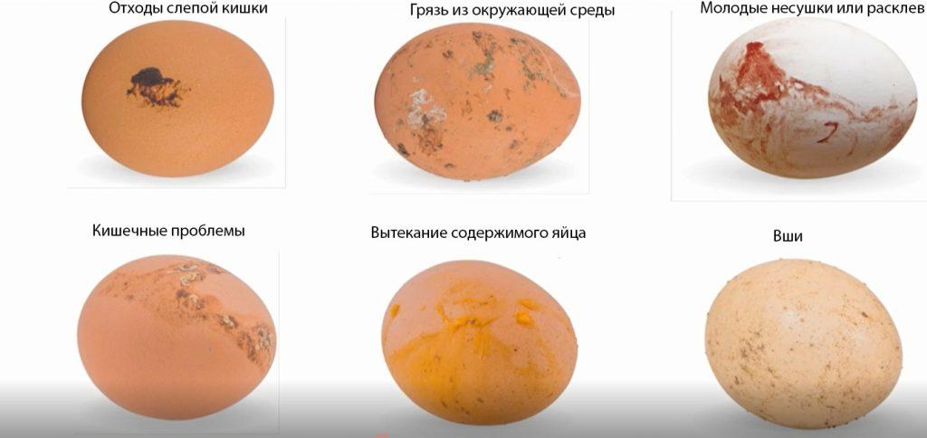 Грязные яйца кур