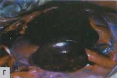 Бледные очаги на печени у индюшки после острой стадии колибактериоза