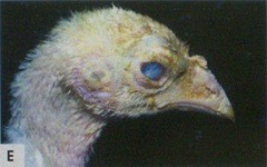 Панофтальмит у индюшки пережившей ранее колисептицемию
