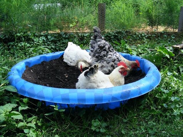 Пыльевые ванны для птицы