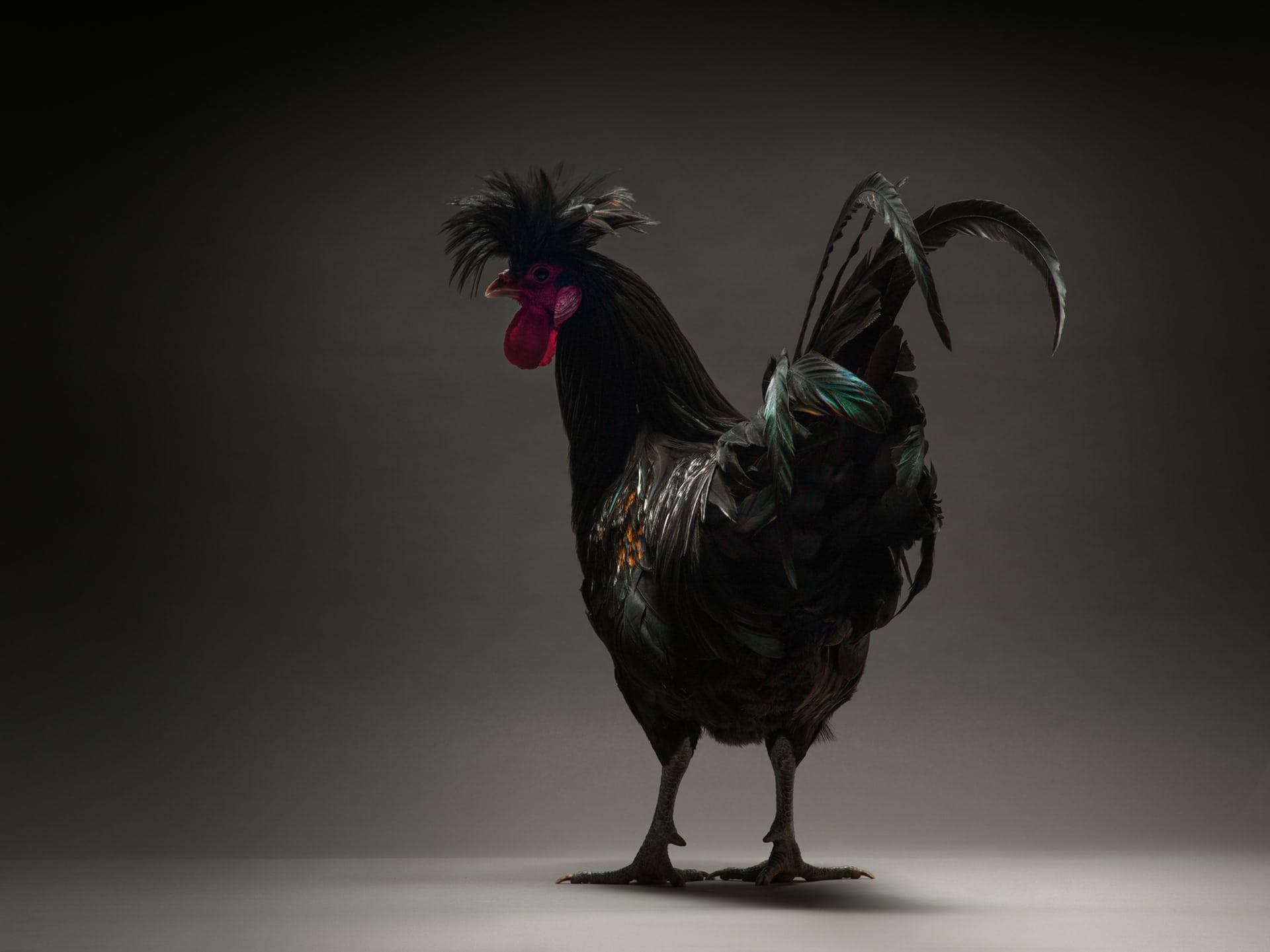 Коллекция кур. Фото М. Монти и М. Транчеллини